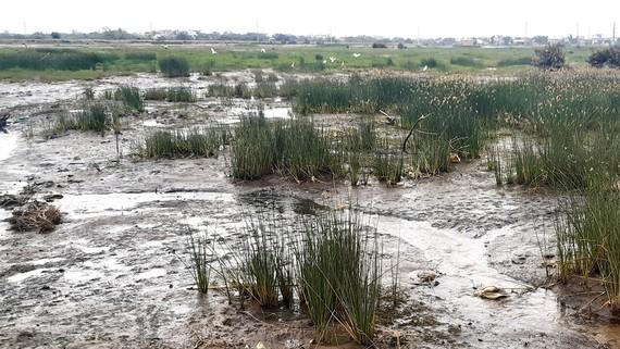 Đồng ruộng ở Bình Định bị bỏ hoang vì hạn mặn, chỉ còn cỏ dại. Ảnh: NGỌC OAI