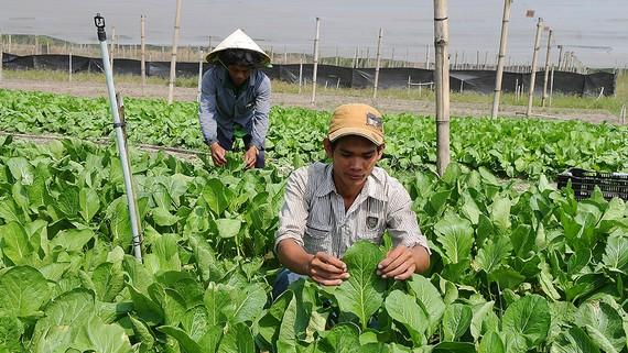 Rau VietGAP trồng tại huyện Củ Chi, TPHCM. Ảnh: CAO THĂNG