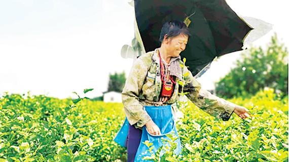 Hoa lài tại huyện Hoành, Khu tự trị dân tộc Choang Quảng Tây, Trung Quốc