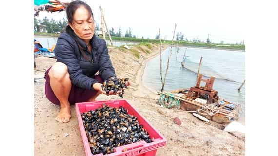Bà Nguyễn Thị Lai (xã Cẩm Linh, huyện Cẩm Xuyên, Hà Tĩnh) xót xa vì ốc hương nuôi bị chết trắng sau mưa lũ. Ảnh: DƯƠNG QUANG