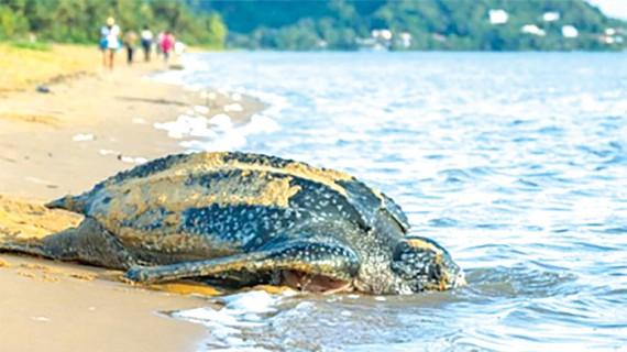 Tổ rùa biển quý hiếm tại Ecuador