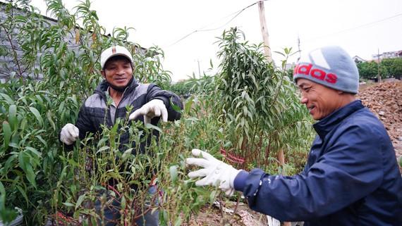 Người trồng đào tại làng Phú Thượng (quận Tây Hồ) tuốt lá đào cho hoa nở đúng tết