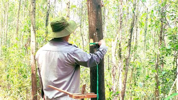 Công ty Lâm nghiệp Quy Nhơn nỗ lực xây dựng những cánh rừng trồng gỗ lớn. Ảnh: XUÂN HUYÊN