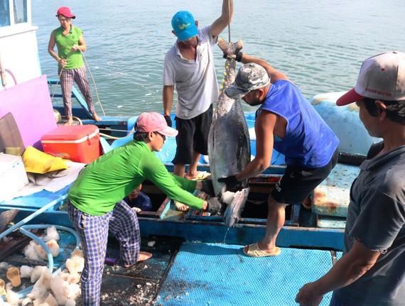 Ngư dân vận chuyển cá lên bờ tiêu thụ