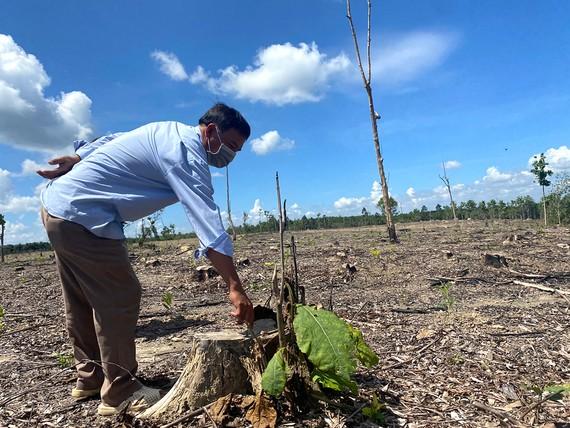Nhiều cây tếch trong rừng phòng hộ bị chặt phá, chỉ còn trơ lại gốc trên đất trống