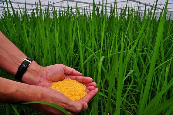"""Giống """"gạo vàng"""" biến đổi gene"""