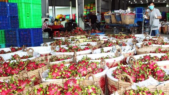 Nhiều điểm thu mua thanh long (xã Hòa Phú, huyện Châu Thành, tỉnh Long An) hoạt động trở lại sau khi được chính quyền hỗ trợ. Ảnh: NGỌC PHÚC