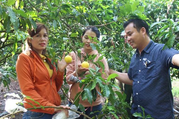 Vú sữa Hoàng Kim trồng tại huyện Bù Đốp, tỉnh Bình Phước