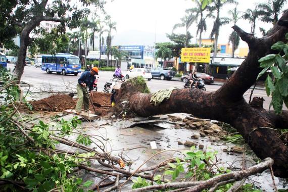 Đến chiều tối 4-11, hàng loạt cây xanh cổ thụ ở TP Quy Nhơn vẫn còn đổ gãy ngổn ngang