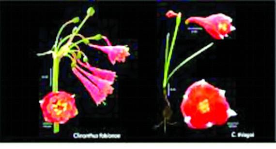 Phát hiện loài loa kèn đỏ mới tại Peru