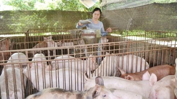 Giá heo tăng đã làm tình hình chăn nuôi ấm hơn