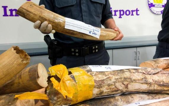 Hải quan Malaysia công bố số ngà voi bị thu giữ trong cuộc họp báo ngày 2-8-2017. Ảnh: REUTERS