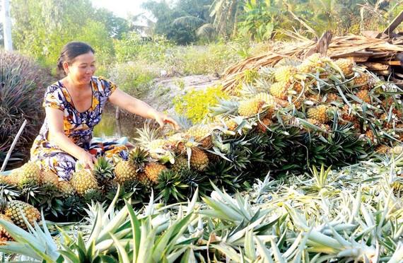 Khóm Cầu Đúc - một lựa chọn của nông dân Hậu Giang để thích ứng với biến đổi khí hậu ở vùng giáp ranh mặn Ảnh: CAO PHONG