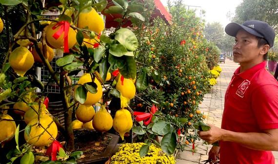 Nhân viên vườn kiểng Minh Tân (đường Mai Chí Thọ, quận 2, TPHCM) đang cắt tỉa cây bưởi Diễn Ảnh: THANH HẢI