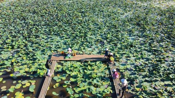Sen trắng đặc trưng của cố đô Huế được Diệu Huyền trồng thành công tại các hồ nước di sản Huế.
