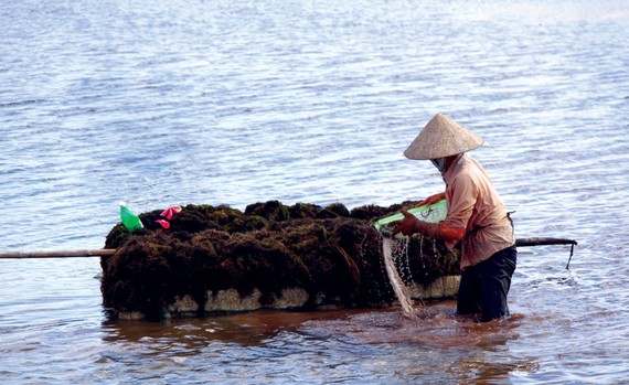 Phụ nữ đang vớt rong câu lên bè xốp để mang vào bờ phơi.