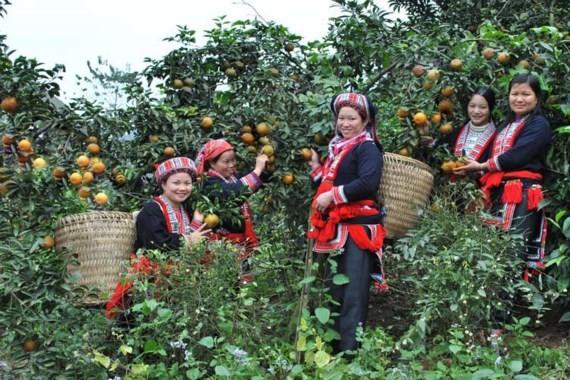 Đời sống của người dân Hà Giang ngày càng được cải thiện. Trong ảnh: Cam Sành Hà Giang
