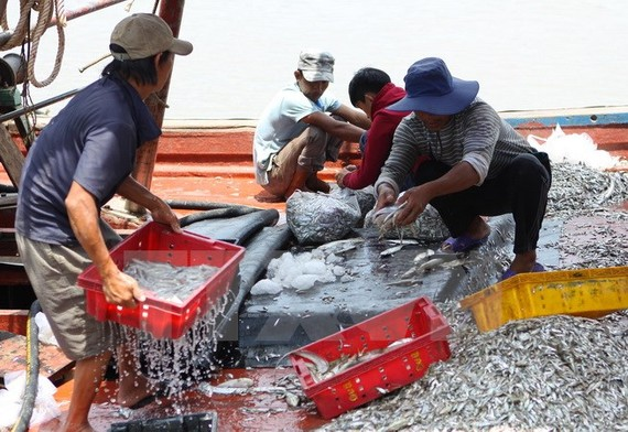 Ngư dân Nghệ An tập kết hải sản vừa đánh bắt. (Ảnh: Thanh Tùng/TTXVN)