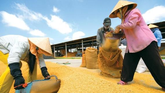 Bảo vệ gạo Việt Nam trước ảnh hưởng của biến đổi khí hậu