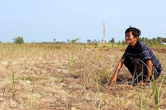 Một cánh đồng ở ĐBSCL bị xâm nhập mặn