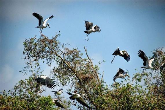 Chim cò Ốc được bảo vệ đặc biệt ở Trà Sư.