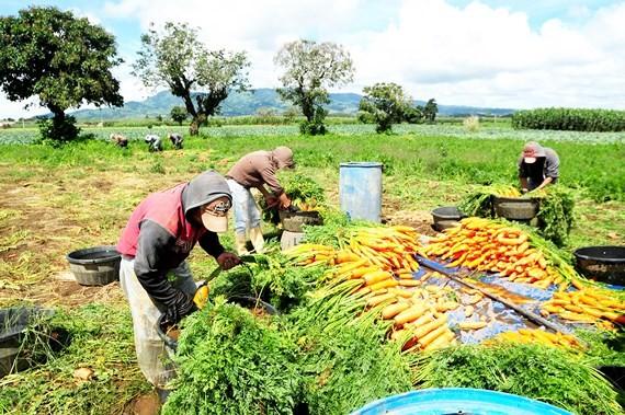Thất thoát lương thực thường xảy ra khi thu hoạch do thiếu nhân công