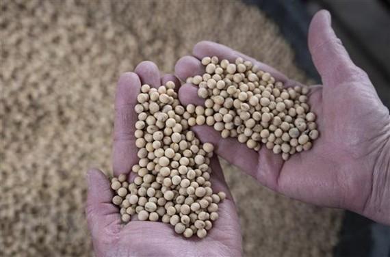 Nông dân thu hoạch đỗ tương tại Scribber, Nebraska, Mỹ. (Nguồn: AFP/TTXVN)