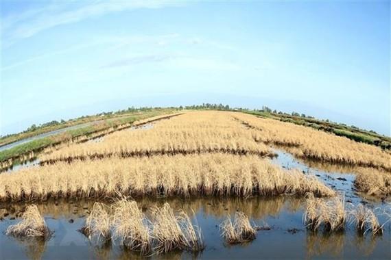 Xâm nhập mặn ở Đồng bằng sông Cửu Long đang tăng trở lại. (Nguồn ảnh: TTXVN)