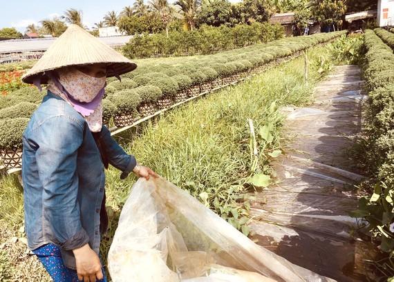 Người dân vùng Chợ Lách (Bến Tre) trữ nước để tưới hoa kiểng. Ảnh: TÍN HUY