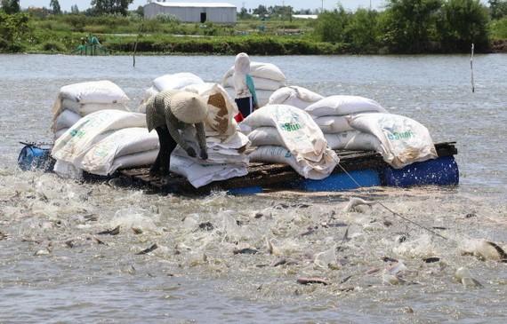 Vùng nuôi cá tra thương phẩm ở huyện Cao Lãnh được cấp mã số nhận diện. (Ảnh: Nguyễn Văn Trí/TTXVN)