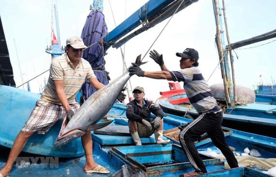 Ngư dân thu hoạch cá ngừ đại dương. (Ảnh: Nguyễn Dũng/TTXVN)