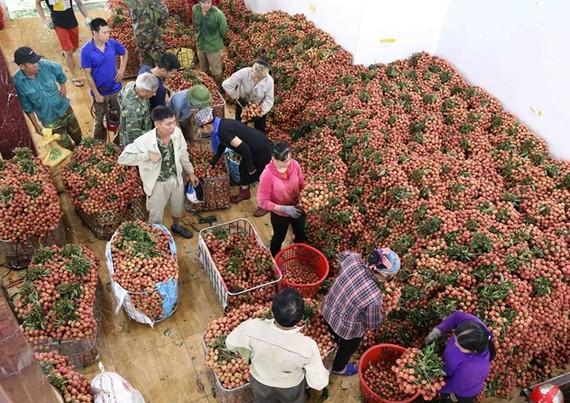 Cơ sở thu mua vải thiều Cương Hoài, xã Phượng Sơn, huyện Lục Ngạn. (Ảnh: Vũ Sinh/TTXVN)