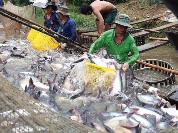 Thu hoạch cá tra tại Vĩnh Long. (Ảnh: Vũ Sinh/TTXVN)