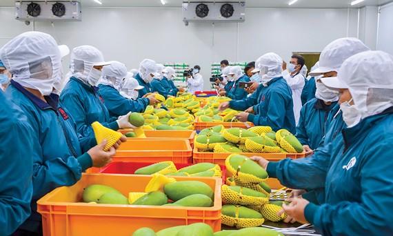 Với mặt hàng trái cây thị trường EU rất dễ dãi, chỉ cần đạt tiêu chuẩn là cho nhập, nhưng tiêu chuẩn đòi hỏi bằng giấy chứng nhận không chỉ chất lượng mà còn là môi trường, xã hội... lại rất khó với doanh nghiệp Việt.