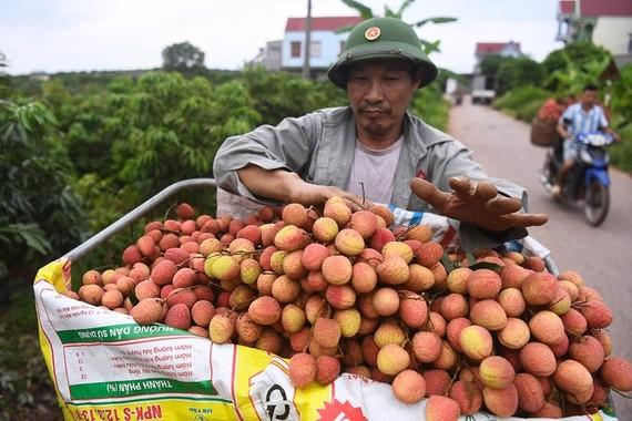 Nông dân Bắc Giang thu hoạch vải thiều mùa vụ 2020. Ảnh: Giang Huy