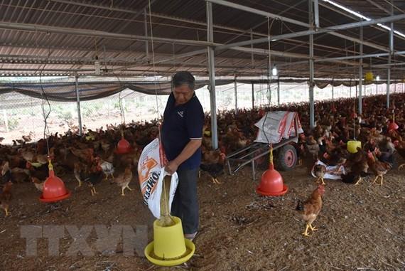 Giá thức ăn chăn nuôi liên tục tăng nhanh gây khó khăn cho người nông dân. Trong ảnh: Chăn nuôi gà tại ấp Bình Mỹ, xã Bình Giả, Châu Đức, Bà Rịa-Vũng Tàu. (Ảnh: Hoàng Nhị/TTXVN)
