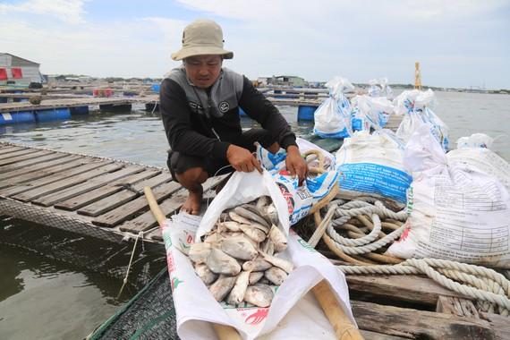Nhiều hộ nuôi liên tục vớt cá chết. Ảnh: VŨ PHONG