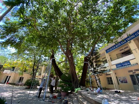 一些學校在鳳尾樹根部裝上安全支架。