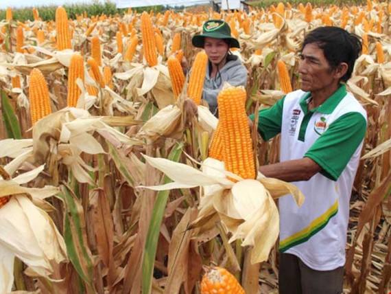 在同奈省種植的轉基因玉米。