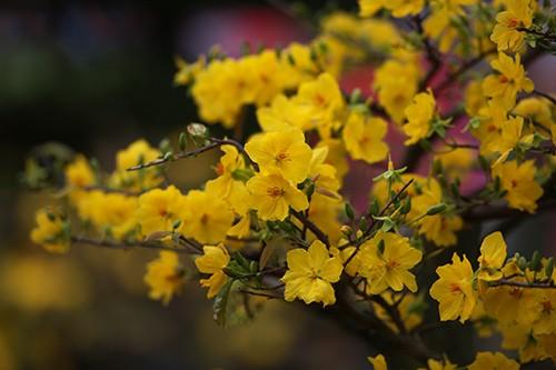 Hoa mai là sự lựa chọn đầu tiên của người dân thành phố khi ra chợ hoa 23-9. Ảnh: Dũng Phương