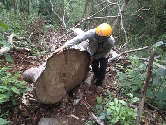 Một cây gỗ quý bị đốn hạ