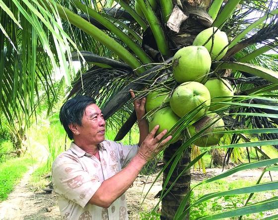 Cây dừa đem lại nguồn thu nhập chính cho nhiều người dân Bến Tre