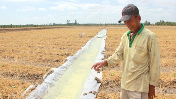 Ông Lâm Văn On (huyện Long Phú, Sóc Trăng) chuyển từ  sản xuất lúa sang hoa màu bằng cách trữ nước ngọt. Ảnh: TUẤN QUANG