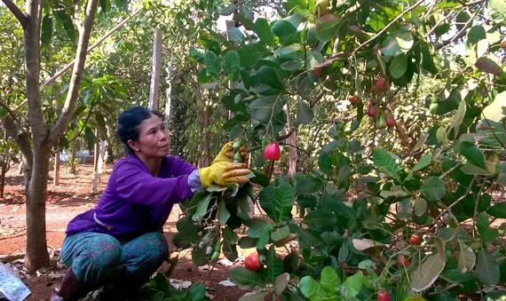 Người trồng điều xã Đồng Tâm, huyện Đồng Phú (tỉnh Bình Phước)  đang bước vào vụ thu hoạch