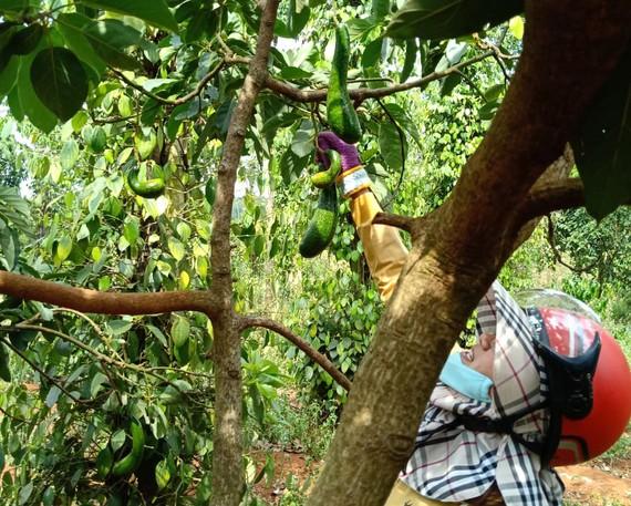 Thương lái kiểm tra chất lượng bơ tại một nhà vườn ở tỉnh Đắk Nông