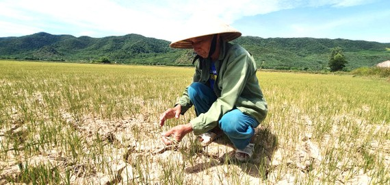 Nhiều diện tích lúa ở Quảng Bình chết cháy. Ảnh: MINH PHONG