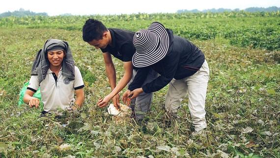 Nhiều bạn trẻ rời thành phố, về khởi nghiệp từ cánh đồng quê hương