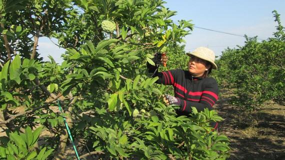 Cây mãng cầu, một đặc sản của tỉnh Tây Ninh