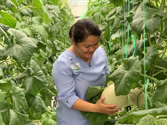 Mô hình trồng dưa lưới sạch cho năng suất thu hoạch và giá trị gia tăng cao tại Đông Thạnh, huyện Hóc Môn