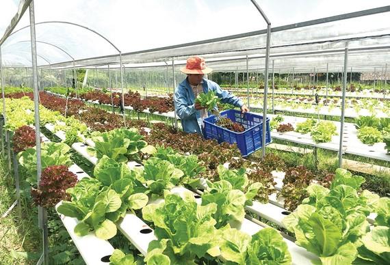 Nhiều nông dânnhờ nguồn vốn vay đãtrồng rau thủy canh,tăng chất lượng, đạt hiệu quả kinh tế cao và sử dụng diện tích nhỏ